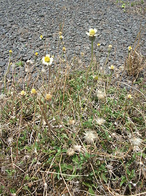 Description de l'image Starr 060721-9557 Tridax procumbens.jpg.