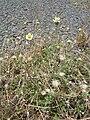 Starr 060721-9557 Tridax procumbens.jpg