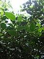 Starr 061105-9610 Psydrax odorata.jpg
