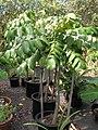 Starr 061108-9819 Munroidendron racemosum.jpg