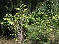 Starr 070111-3302 Chrysophyllum oliviforme