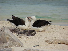 Two black and white birds lie on their bellies on a sandy beach; one nuzzles the other's head with the tip of its long, yellow bill.