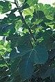 Starr 980529-4178 Ficus carica.jpg