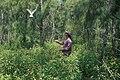 Starr 990514-0725 Euphorbia cyathophora.jpg