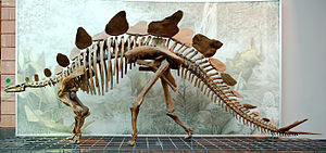 Reconstruction of a Stegosaurus skeleton in th...