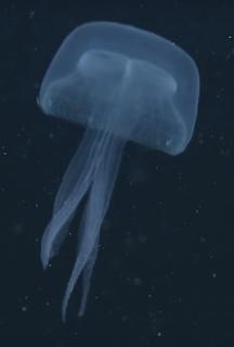 <i>Stellamedusa</i>