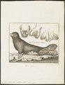 Stenorhynchus albiventer - 1700-1880 - Print - Iconographia Zoologica - Special Collections University of Amsterdam - UBA01 IZ21100175.tif