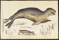 Stenorhynchus leopardinus - 1700-1880 - Print - Iconographia Zoologica - Special Collections University of Amsterdam - UBA01 IZ21100157.tif