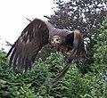 Steppe Eagle 3 (3862265147).jpg