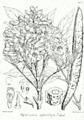 Stereospermum xylocarpum Bra43.png