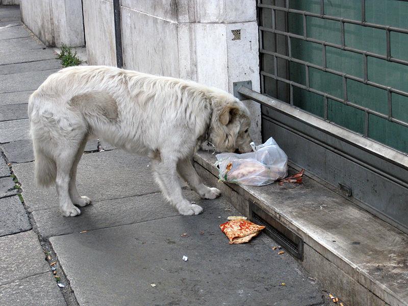 File:Stray dog in Rome.jpg