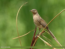 Striated Babbler (Turdoides earlei) (45902061874).jpg