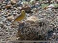 Sulphur-bellied Warbler (Phylloscopus griseolus) (26541565694).jpg