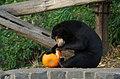 Sun bear treats (30042431213).jpg
