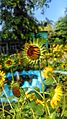 Sunflower Focus.jpg