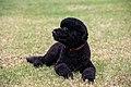 Sunny, the Obama's new dog.jpg