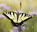 Swallowtail and Wild Bergamot (28606028975).jpg