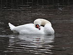 File:Swan during Winter Großer Garten 102287665.jpg