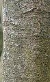 Sweetbay Magnolia Magnolia virginiana Bark Vertical.JPG