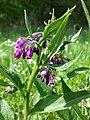 Symphytum tanaicense sl4.jpg