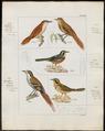 Synallaxis spinicauda - 1820-1860 - Print - Iconographia Zoologica - Special Collections University of Amsterdam - UBA01 IZ19200161.tif
