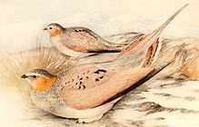 Syrrhaptes tibetanus 1921