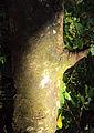 Syzygium caryophyllatum bark1.jpg