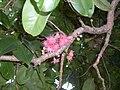 Syzygium moorei flowers and leaves.JPG