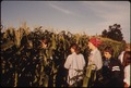 TEENAGERS BEGINNING THEIR SUMMER DAY DETASSELING CORN IN FIELDS NEAR NEW ULM, MINNESOTA. THE HYBRID CORN SEED FOR THE... - NARA - 558242.tif