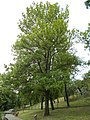 Tabáni Botanikai Tanösvény. Magas kőris (Fraxinus excelsior). - Budapest.JPG