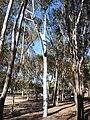 Talking Tree, UCSD.JPG