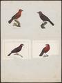 Tanagra jacapa - 1700-1880 - Print - Iconographia Zoologica - Special Collections University of Amsterdam - UBA01 IZ15900215.tif