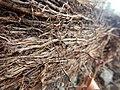 Tapis de racines de platane sous trottoir Platanus root mat under sidewalk Lille northern France 14.jpg