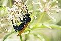 Tarantula Hawk (19749861812).jpg