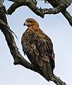 Tawny Eagle (Aquila rapax) (17258246620).jpg