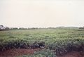 Tea estate (3007264316).jpg