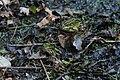 Teichfrosch Pelophylax esculentus 7712.jpg