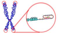 El cromosoma y los telómeros