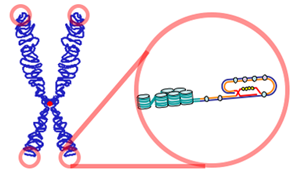 Telomere - Telomeres are found at the termini of chromosomes. The end of a telomere inserts back into the main body of the telomere to form a T-loop
