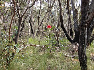 Telopea speciosissima - Waratah in flower in bushland, regenerating from fire in recent years, dominant above slower-growing understory plants