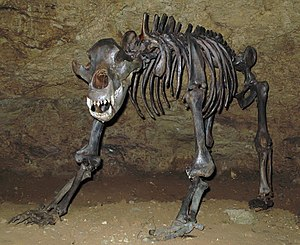 Cave bear - Mounted cave bear skeleton