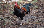 Thai Game chicken - red 3.JPG