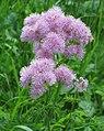 Thalictrum aquilegiifolium 2 RF.jpg