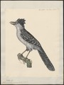 Thamnophilus cinereus - 1824-1839 - Print - Iconographia Zoologica - Special Collections University of Amsterdam - UBA01 IZ16400389.tif
