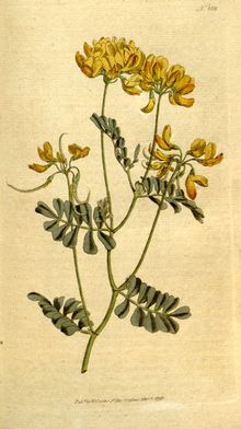The Botanical Magazine, Plate 185 (Volume 6, 1793).png