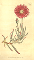 The Botanical Magazine, Plate 396 (Volume 11, 1797).png
