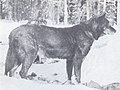 The Wolves of North America (1944) Black female wolfdog 1.jpg