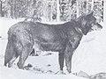 The Wolves of North America (1944) Black female wolfdog 1.jpg