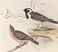 The birds of Europe (1837) (14728943856).jpg