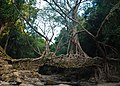 The living roots bridge, Mawlynnong.jpg